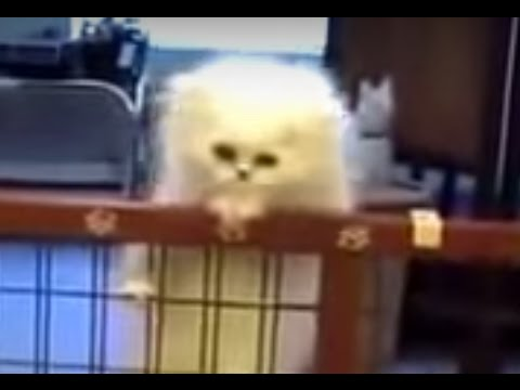 Persian Cat Mom teach her kitten to climb the fence, Sweet