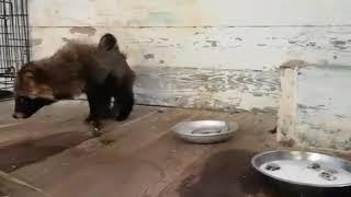 Туристы в Приморье спасли уссурийскую лису после нападения собак