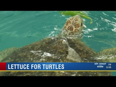 Local fourth graders grow lettuce for sea turtles at Clearwater Marine Aquarium