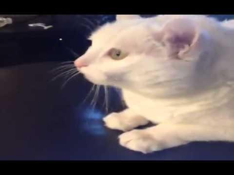 Calan Sarkiya Kafasiyla Ritim Tutan Kedi