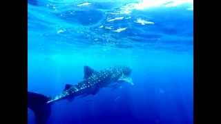 Whale Shark Snorkel - Coral Bay, Ningaloo Reef. Western Australia - 10th March 2013