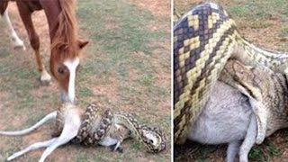 Snake attacks: Python swallows wallaby; Python eats dog, trapped in fence - Compilation