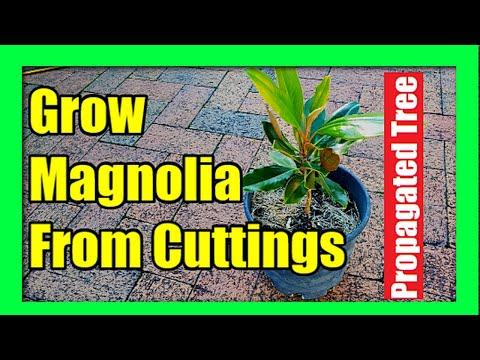 How To Grow Magnolia Tree from Cuttings : Magnolia Plant Propagation