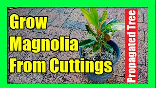 How To Grow Magnolia Tree from Cuttings : Magnolia Propagation