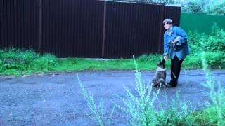 Дрессировка кавказской овчарки - гуляем со щенком
