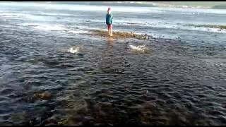 Горбуша в Магадане идёт на нерест(Видео от viktoriya✨ barto., 2016-07-09T10:30:28.000Z)