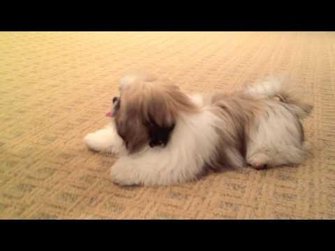 Louie (the Shih Tzu) Runs Wild