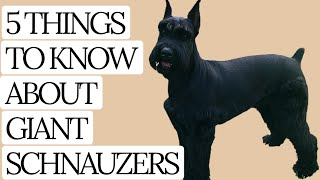 Giant Schauzers  5 THINGS YOU SHOULD KNOW!