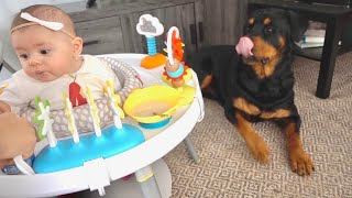 Rottweiler and Olivia try baby food first time  69