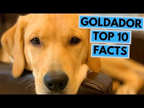 Goldador  TOP 10 Interesting Facts