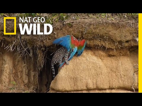 Watch a Wildcat Attack a Parrot in Rare Video | Nat Geo Wild
