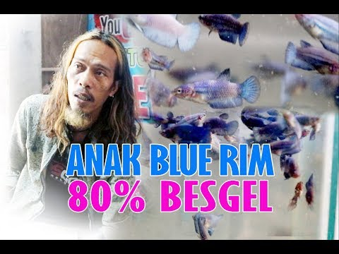 Update Anakan Blue Rim 1 5 Bulan 80 Masih Besgel Youtube