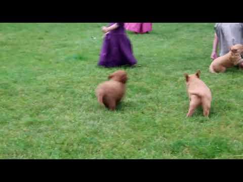 Mini Goldendoodle Puppies For Sale Samuel Smucker