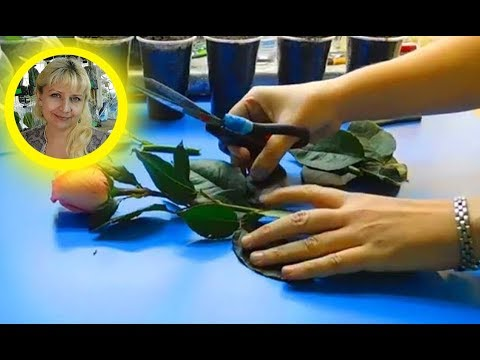 Как вырастить розы