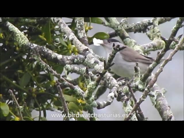 Curruca capirotada comiendo los frutos del muérdago / Blackcap eating mistletoe berries