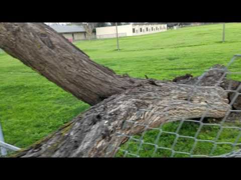 Tree knocked down on a Fresno School Fence by wind