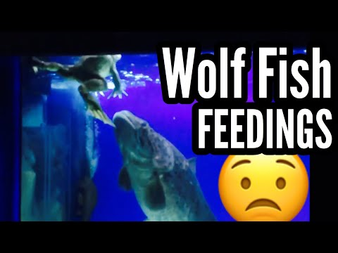 Warning: Wolf Fish Aquarium Feeding Compilation