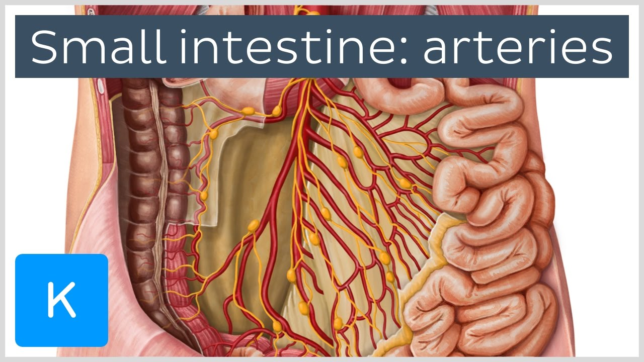 Arteries Of The Small Intestine Preview Human Anatomy Kenhub