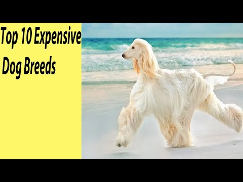 Top 10 Expensive Dog Breeds in the World 2020