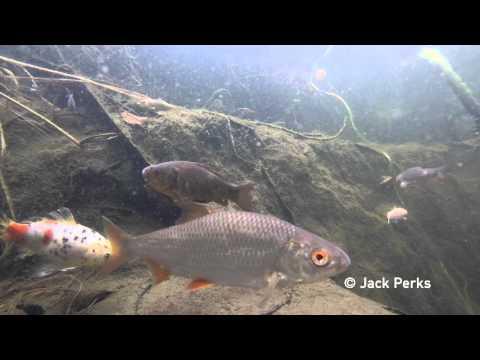 12 Species Of Fish In Garden Pond Underwater #1