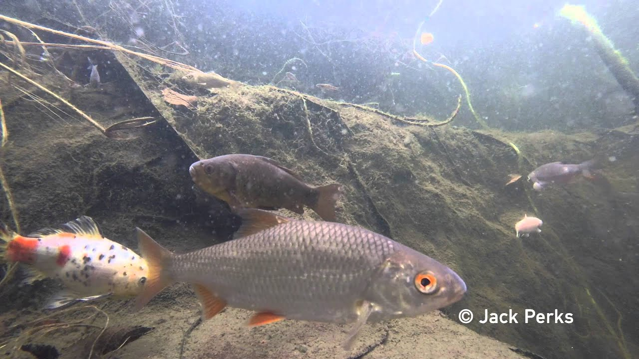 12 species of fish in garden pond underwater 1 youtube for Pond fish species