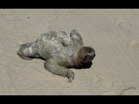 Thumbnail: Sloth in the middle of the road - In the wild Brazil, (bicho preguiça atravessando a rua)