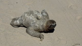 Sloth in the middle of the road  - In the wild Brazil, (bicho preguiça atravessando a rua)