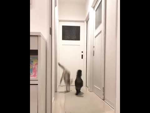 Cat Dramatically Jumps Over Another Cat to Escape Being Cornered - 1034680