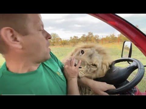 Львы Султан и Гирей ТРЕБУЮТ МЯСА !!!