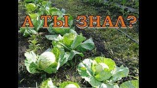 КАПУСТА:  от посева до урожая... ПОШАГОВО
