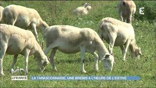 Un éleveur de brebis Tarasconnaise en Ariège