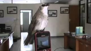 Video Kicau Burung Trucukan bagus sekali download MP3, 3GP, MP4, WEBM, AVI, FLV Juli 2018