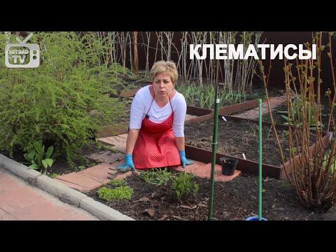Клематис   Уход и выращивание вьющихся растений на даче