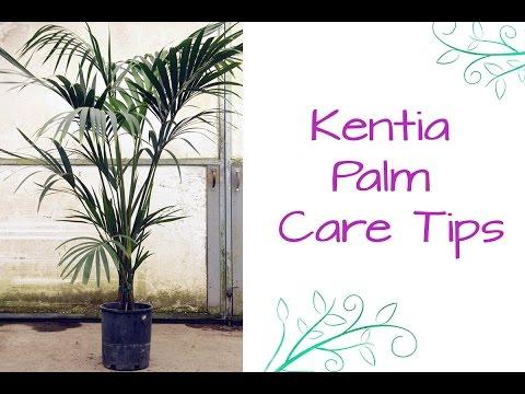 An Elegant Plant For Lower Light: The Kentia Palm