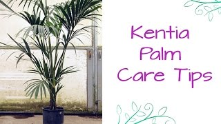 An Elegant Plant For Lower Light: The Kentia Palm
