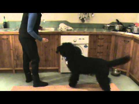 Barbet dog helps with the housework
