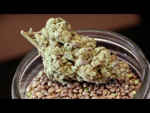 Seed To Strain: DNA Genetics Amsterdam And LA Confidential