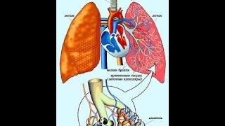 Строение органов дыхания. Биология 8 класс.(Видеоурок по теме