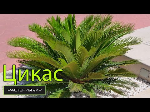 Цикас уход в домашних условиях / Комнатная пальма