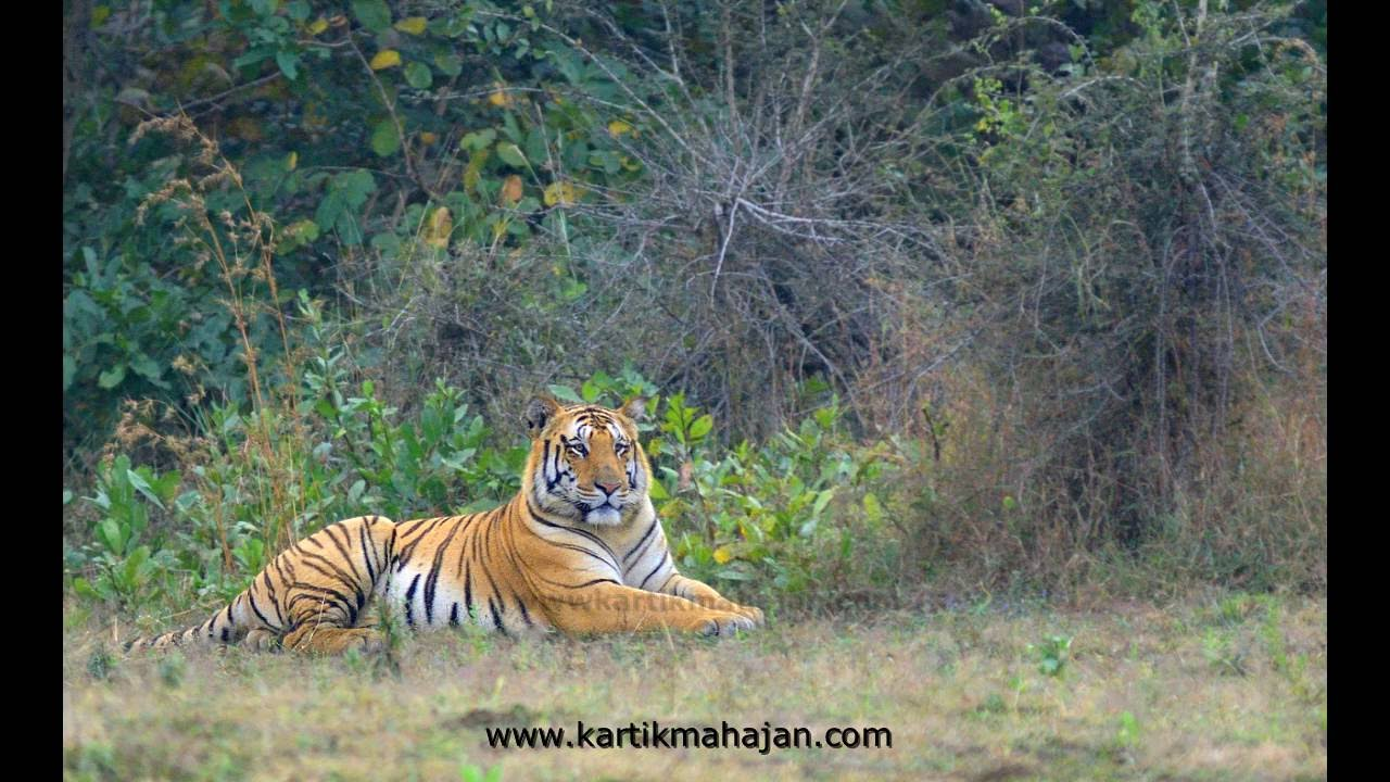 Jay The Huge Male Tiger - Youtube-4896