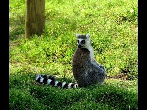 Ring Tailed Lemur - Wildlife EGY Photographer (Arabic Version)