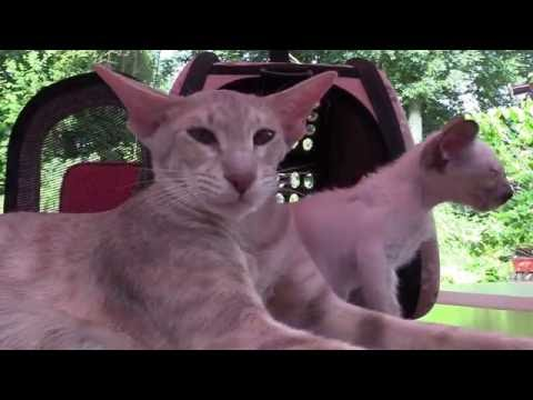 Siamese and Oriental Shorthair Kittens Tiffany and Prince 2016 (part 5)