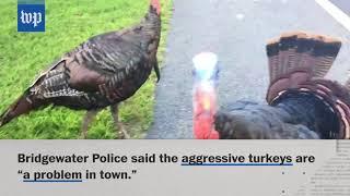 Aggressive wild turkeys chase resident in Bridgewater, Mass.