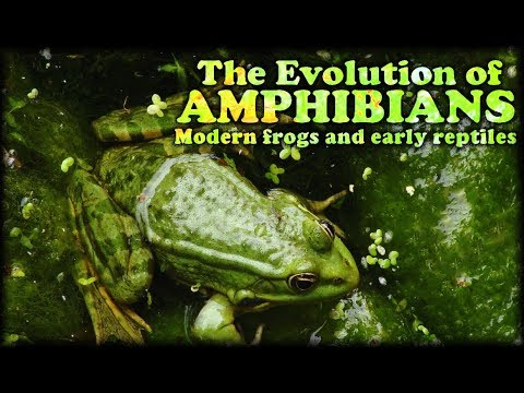 The Evolution Of Amphibians II : Modern Frogs And Early Reptiles