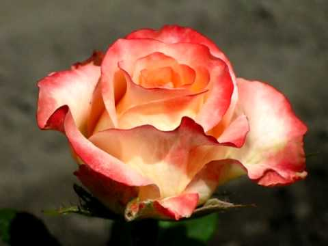 Роза Дует