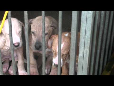 BULLY KUTTA WORKING DOG FIRST Travel Video