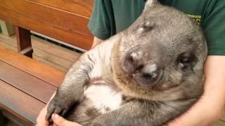 Австралия 2015. Животные Австралии. Симпатичная Австралийская хрюша: Вомбат   (Australian  Wombat)