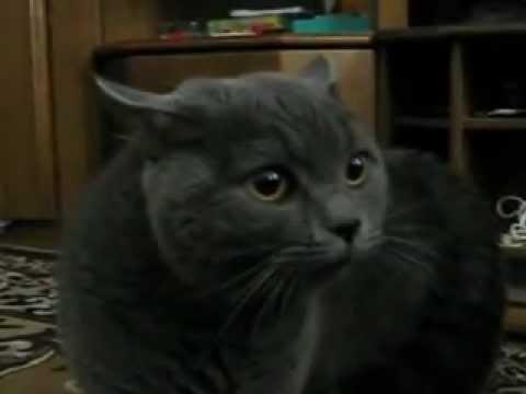 Кот ругается на моего парня.avi