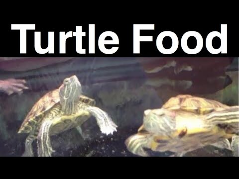 What Do Turtles Eat? Feeding A Pet Turtle the Same? - YouTube