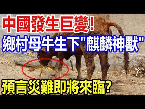 """中國將發生巨變!鄉村母牛生下""""麒麟神獸"""",預言災難即將來臨?"""